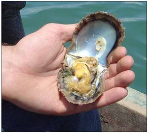 pearl-oyster